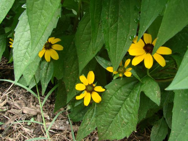 Black Eyed Susan - 1801